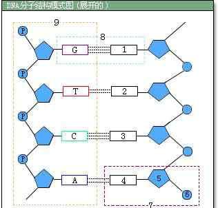 dna结构图 DNA平面结构示意图及对应名称